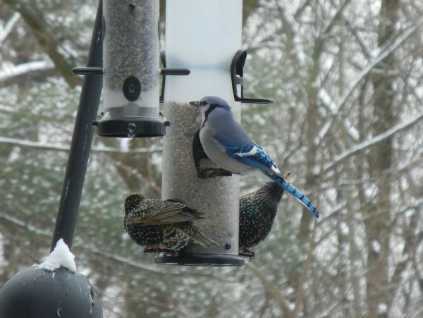 Blue Jay and two European Starlings