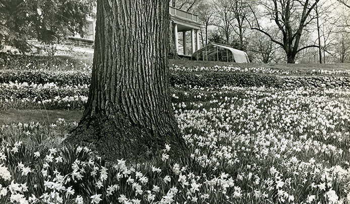 Historic photo of the Daffodil Bowl at the Reeves-Reed Arboretum